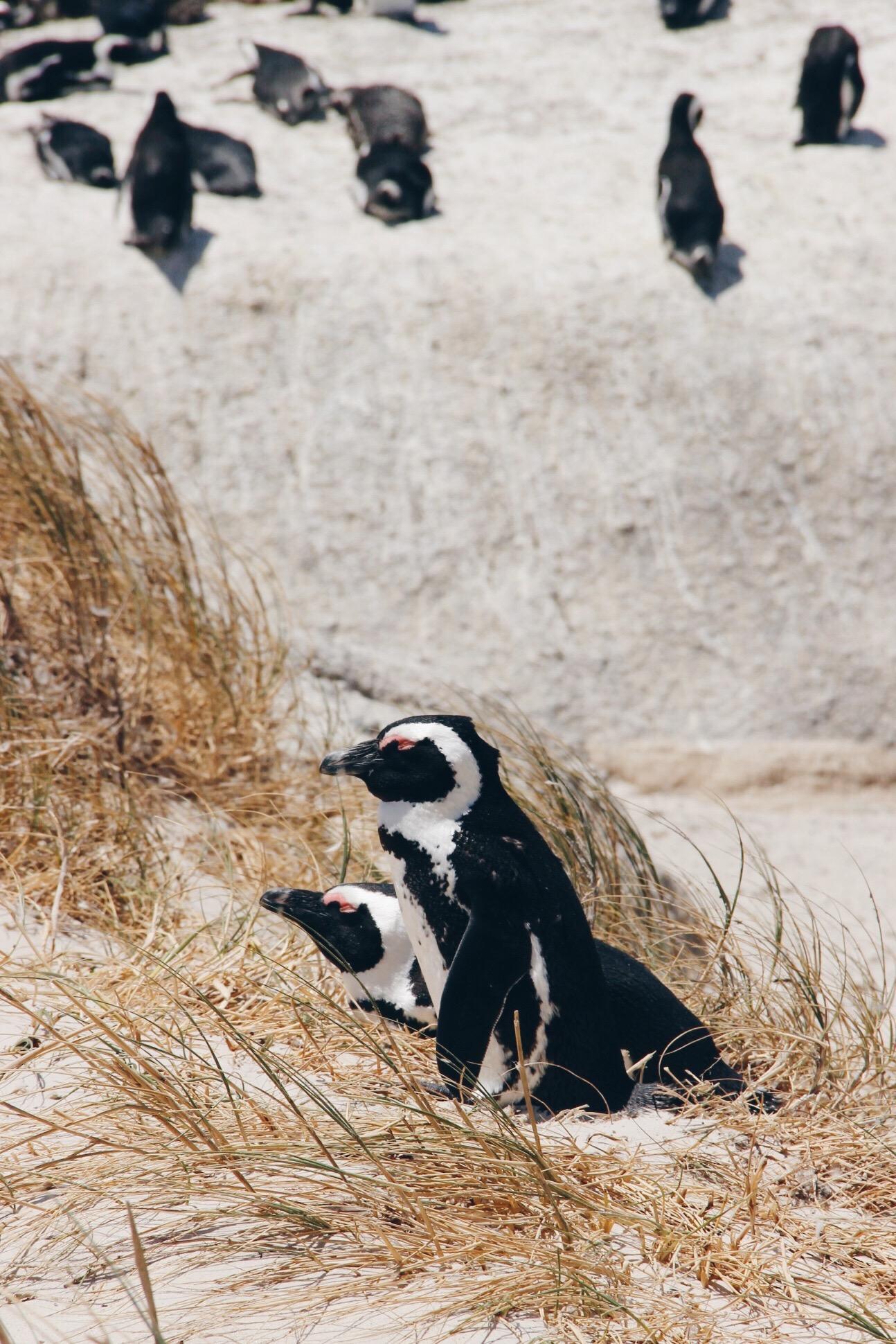Pinguine Simonstown Boulders Beach Südafrika Süchtig nach Lifestyleblog Linz